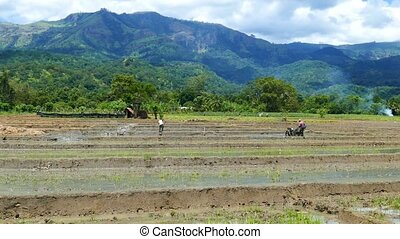 Rice plantation in Sri Lanka - Mountain landscape with rice...