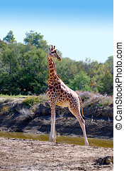 Giraffe - a Portrait of a female Giraffe in the nature