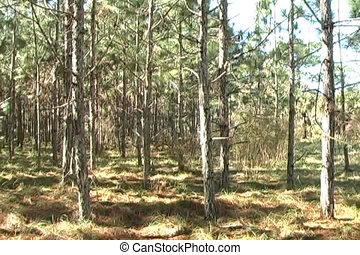 Pine Forest 1 - Camera tracks left slowly in a scenic pine...