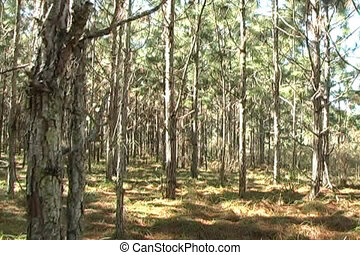 Pine Forest 2 - Camera tracks right slowly in a scenic pine...