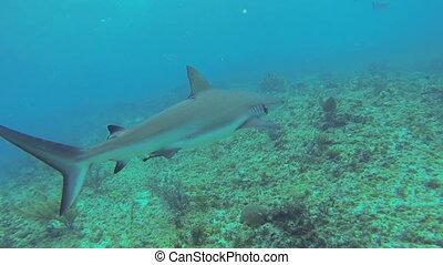 Caribbean reef shark - Beautiful full HD footage of a...