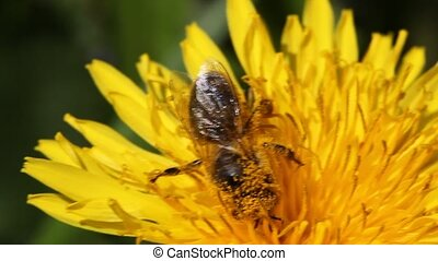 Dandelion - bee collects nectar on Dandelion