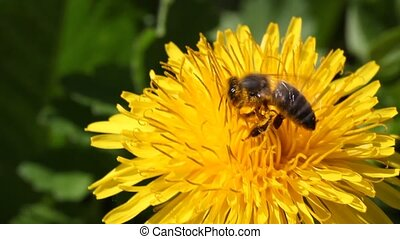 bee collects nectar on Dandelion
