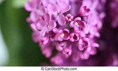 lilacs - a bouquet of lilacs