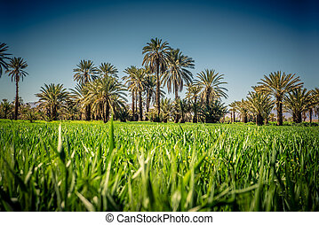 Palm tree coltivation - Green plantation of palm tree