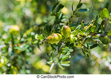 Fresh fruit of Argan tree on the branch - Branch of argan...