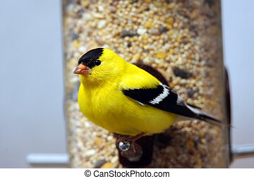 Male American goldfinch looking
