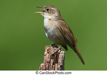 House Wren Singing - House Wren (troglodytes aedon) on a...