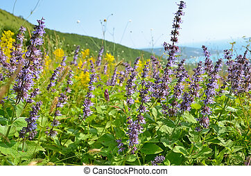 Salvia flowers on mountain meadow - Wild salvia flowers on...