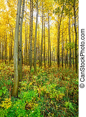 Aspen Grove in Fall - an aspen grove in the colorado...