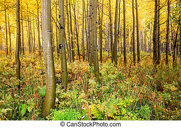 Aspens in Fall - a colorado aspen grove in fall
