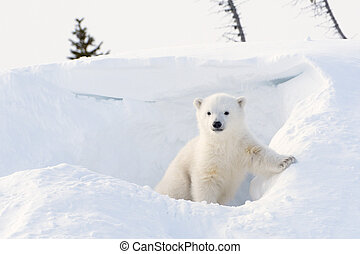 Polar bear (Ursus maritimus) cub coming out den, Wapusk...