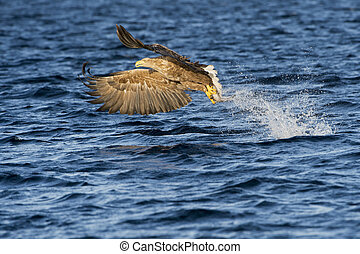 White-tailed eagle Haliaeetus albicilla catching fish in...