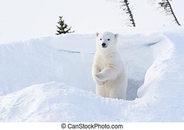 polarny, Niedźwiedź, (Ursus, maritimus), szczeniak,