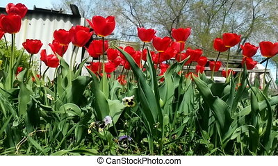 Field of red colored tulips with starburst