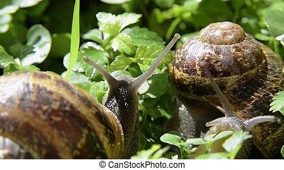 snail, close up - snail on green grass