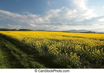 Rape field at dusk