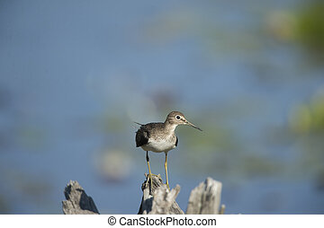 Solitary Sandpiper perches alertly on a weathered stump