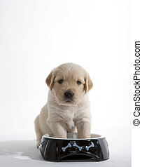 puppy of golden retriever at its bowl