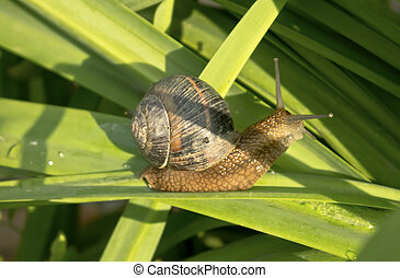 Snail on green leaves
