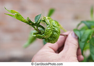 Peach leaf curl,taphrina deformans - Hand of gardener holds...