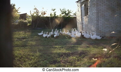 Ducks walking down poultry yard - Three White Ducks in Grass...
