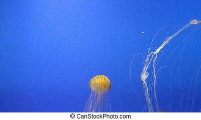 Jellyfish (Chrysaora hysoscella) in an aquarium