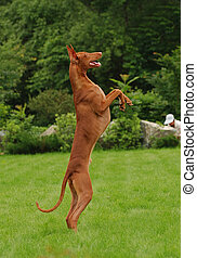 Pharaoh hound Dancing on a green grass - The Pharaoh Hound...