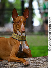 Pharaoh hound - The Pharaoh Hound is a breed of dog and the...
