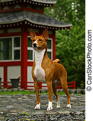 Basenji in Japan garden - The Basenji is a breed of hunting...