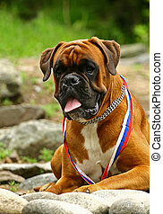 Medalist - Developed in Germany, the Boxer is a breed of...