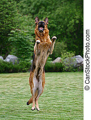 Jumping Shepherd - The German Shepherd Dog GSD, also known...