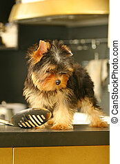 The Yorkshire Terrier is a small dog breed of Terrier type, developed in the 1800s in the historical area of Yorkshire in England. The defining features of the breed are its small size and its silky b