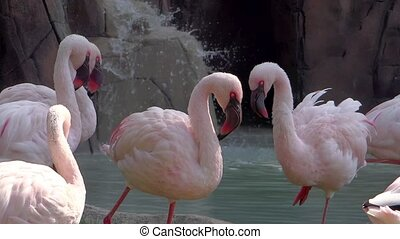 flamingos - pink flamingos colony near a waterfall