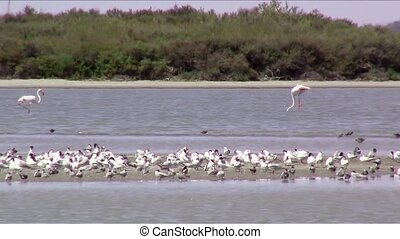 flamingos - Wetland A lot of birds