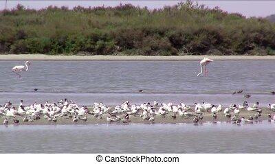 flamingos - Wetland. A lot of birds.
