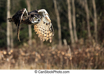 Predator - Great Horned Owl in flight.
