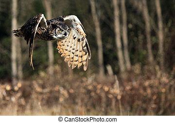Predator - Great Horned Owl in flight.