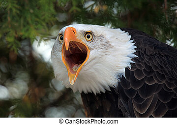 Screaming Eagle - Closeup of a Bald Eagle screaming at the...