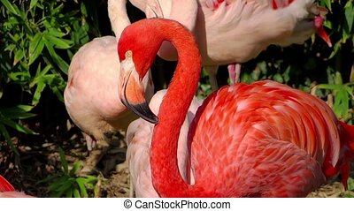 american flamingos - pink american flamingos colony
