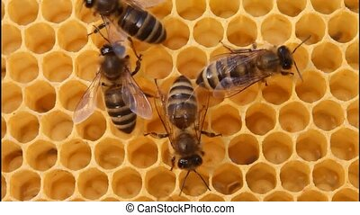 Bees build honeycombs. - In cells placed nectar , honey and...
