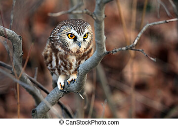 Saw-Whet Owl perching in a tree.