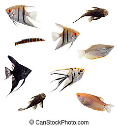 Group of decorative fishes on white - Group of decorative...