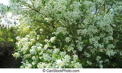 Flowering bush chubushnik - In spring flowering shrub garden...
