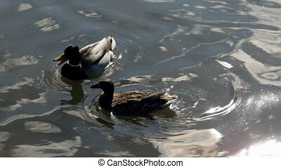 Couple of duck and drake are swimming in the river in spring
