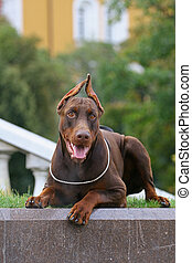 The Doberman Pinscher alternatively spelled Dobermann in...