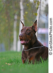 The Doberman Pinscher (alternatively spelled Dobermann in many countries) or Doberman is a breed of domestic dog. Dobermann Pinschers are among the most common of pet breeds, and the breed is well kno