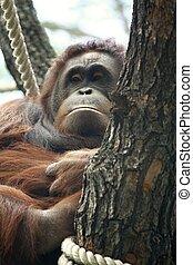 orangutan - pongo pygmaeus, photo of the animal