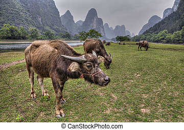 Cows grazing on pasture near Guilin - Rural Asia, a herd of...