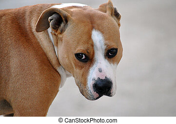 American Staffordshire Terrier, female dog image